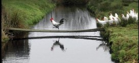 stellamatutina-gallo-galline