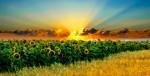 stellamatutina-girasoli-tramonto
