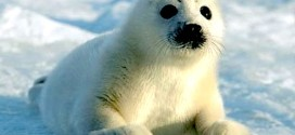 stellamatutina-piccola-di-foca